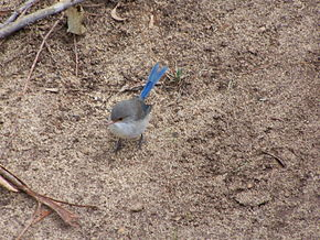Description de l'image Blue wren gnangarra.jpg.