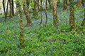 Bluebells in Pigshill Woods - geograph.org.uk - 794503.jpg