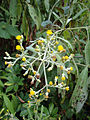 Blumea balsamifera (2).JPG
