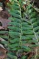 Blunt-lobed Woodsia obtusa Winter Foliage.JPG
