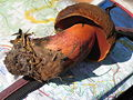 Boletus erythropus 1.JPG