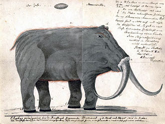 "Woolly mammoth - Copy of an interpretation of the ""Adams mammoth"" carcass from around 1800, with Johann Friedrich Blumenbach's handwriting"