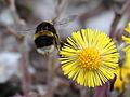 Bombus lucorum(?) - White-tailed Bumblebee - Ljus jordhumla.jpg