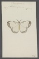 Bombycodes - Print - Iconographia Zoologica - Special Collections University of Amsterdam - UBAINV0274 059 16 0008.tif