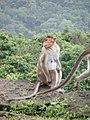 Bonnet Macaques Macaca radiata Kanheri SGNP Mumbai by Raju Kasambe DSCF0056 (1) 15.jpg