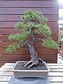 Bonsai pinus radiata.jpg