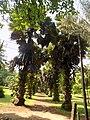 Borassus Aethiopum 01.jpg