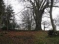 Border oak - geograph.org.uk - 961323.jpg