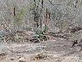 Bottlebrush Aloes (Aloe spicata) (31704683443).jpg
