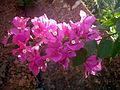 Bougainvillea flower 6.JPG