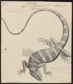 Brachylophus fasciatus - 1700-1880 - Print - Iconographia Zoologica - Special Collections University of Amsterdam - UBA01 IZ12800067.tif