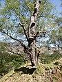 Bracket fungus inhabiting a dead tree, Dundurn, Perthshire - geograph.org.uk - 1584608.jpg
