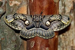 Brahmeid Moth (Brahmaea wallichii insulata) at...