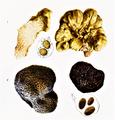 Bresadola - Tuber magnatum und Tuber maelanosporum.png