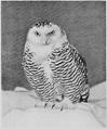 Britishbirdbookcover.png