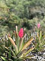 Bromélia Pedra Redonda em Monte Verde MG.jpg
