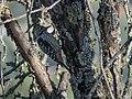 Brown-fronted Woodpecker (37558141372).jpg