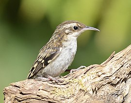 Brown Creeper 5983.jpg