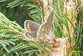 Brown argus (NH) (31609376333).jpg