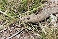 Brown snake - victoria australia.jpg