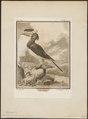 Buceros coronatus - 1700-1880 - Print - Iconographia Zoologica - Special Collections University of Amsterdam - UBA01 IZ19300191.tif
