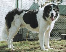 Bucovina Sheepdog.jpg