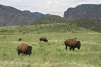 Buffalo in Chihuahua