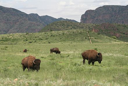 Bison herd grazing in Chihuahua, Mexico Buffalo in Chihuahua.jpg