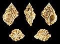 Bufonaria margaritula 01.JPG