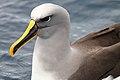Buller's Albatross (25371049964).jpg