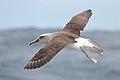 Buller's Albatross (25702428520).jpg