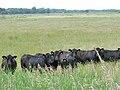 Bullocks grazing Claxton Marsh - geograph.org.uk - 1358696.jpg