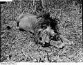 Bundesarchiv Bild 105-DOA0111, Deutsch-Ostafrika, Mähnenlöwe.jpg
