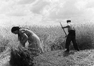 A reaper cutting rye in Germany 1949