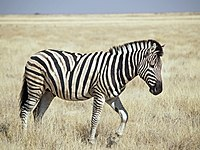 Burchell's Zebra (Etosha).jpg
