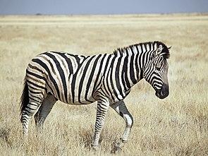 Steppenzebra der Unterart Burchell-Zebra (Equus quagga burchelli) im Etosha-Nationalpark