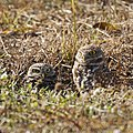 Burrowing Owls (6733165607).jpg