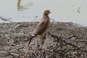 Butastur - Image: Butastur rufipennis Far North Region, Cameroon 8