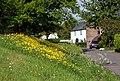 Buttercups on the roadside, Broadwell - geograph.org.uk - 1312039.jpg