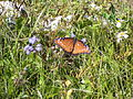 Butterfly 4 at St Marks NWR.JPG