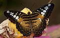 Butterfly 5 (4867225892).jpg