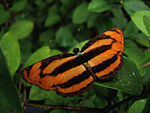 Butterfly Common Lascar.jpg