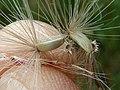 C. pycnocephalus-cips-32.jpg