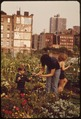 "CITY ""FARMERS"" CULTIVATE THRIVING GARDEN. VOLUNTEERS WERE ASSIGNED THEIR PLOTS BY COMMUNITY ASSOCIATION. THE SQUARE... - NARA - 551623.tif"