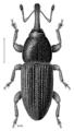 COLE Curculionidae Arecophaga varia.png