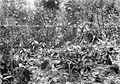 COLLECTIE TROPENMUSEUM Cacao-kweekbed van februari 1920 met geslaagde oculaties waarvan de onderstammen pas zijn kromgebonden en de occulaties nog niet uitgelopen zijn TMnr 10012241.jpg