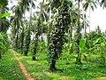 CPCRI Kasaragod, Kerala, India.jpg