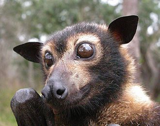 Pteropus - The prominent eyes of the spectacled flying fox