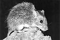 CSIRO ScienceImage 4515 The longhaired rat Rattus villosissimus.jpg