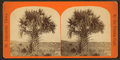 Cabbage palmetto, from Robert N. Dennis collection of stereoscopic views 3.png